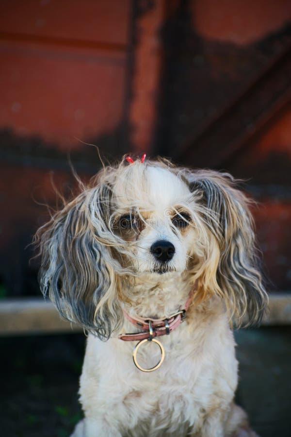 Der Chinese Crested-Hund, schöne chinesische Feder Hundedame stockbilder