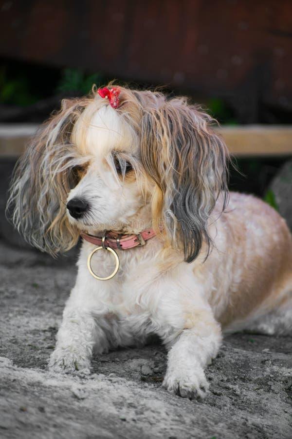 Der Chinese Crested-Hund, schöne chinesische Feder Hundedame stockfoto