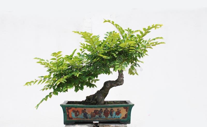Der chinesische Bonsaisbaum lizenzfreie stockfotografie