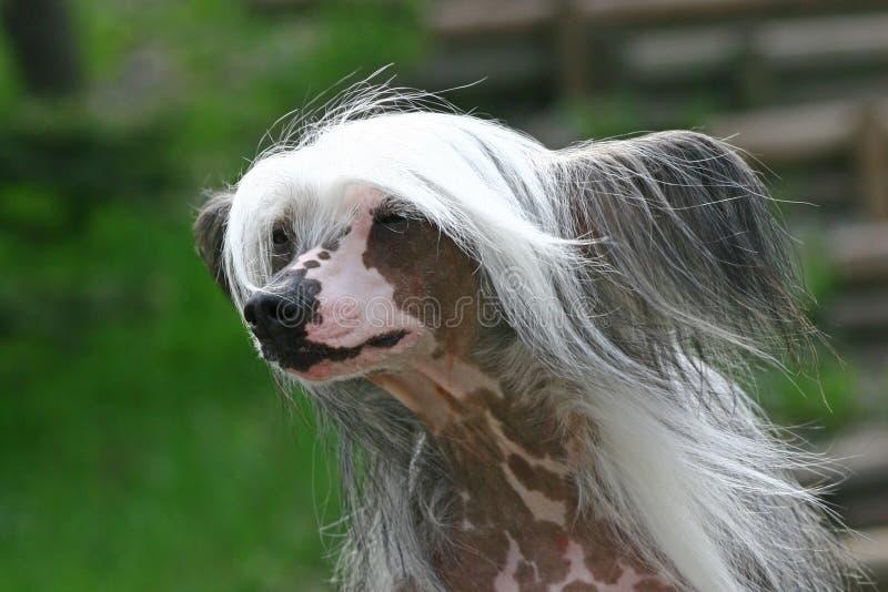 Der chinesische mit Haube Hund stockfotos