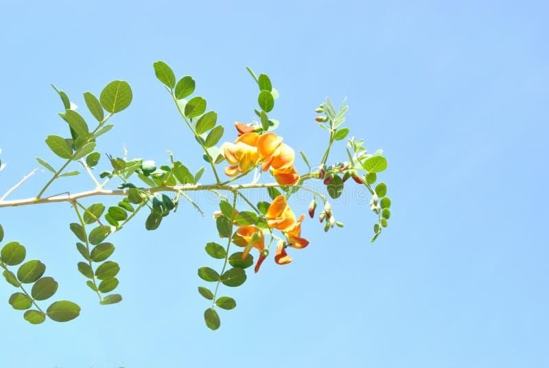Der Colutea Mit Pinnate Blättern Und Orange Blumen Lizenzfreie Stockfotografie