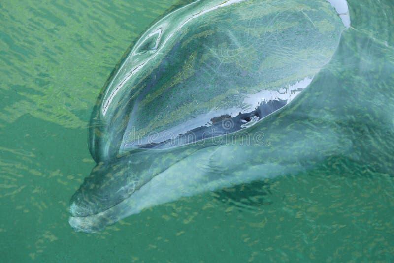 Der Delphin ist auf der Oberfläche des Wassers mit einem nassen Kopf und einem reflektierten Panorama der Umwelt lizenzfreie stockfotos