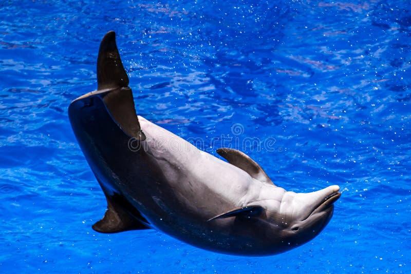 Der Delphin springend in das Wasser stockfotografie