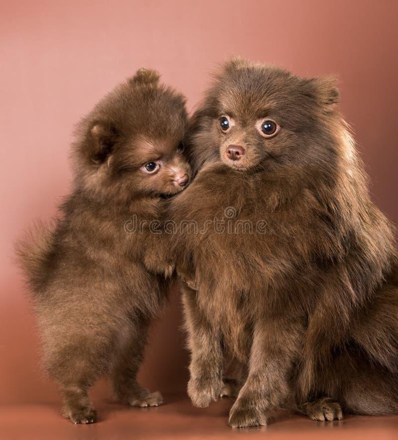 Der deutsche Spitzhund mit einem Welpen lizenzfreie stockfotografie