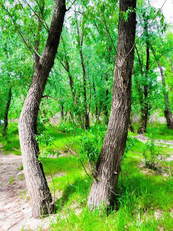 Der dobrogean Wald stockfoto