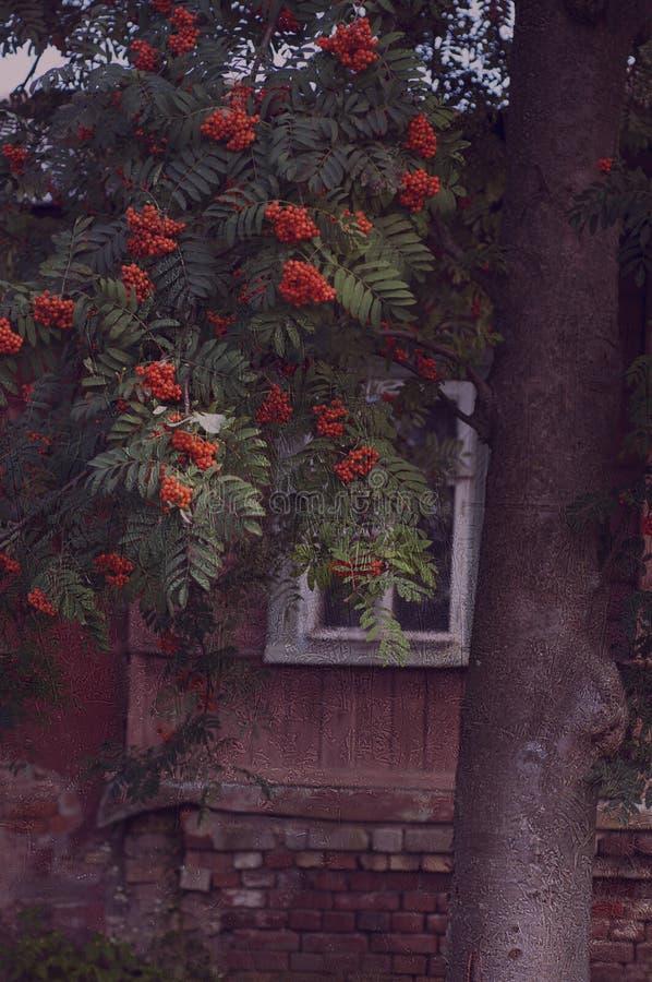 der Ebereschenbaum, Fall, Oktober, stockbild