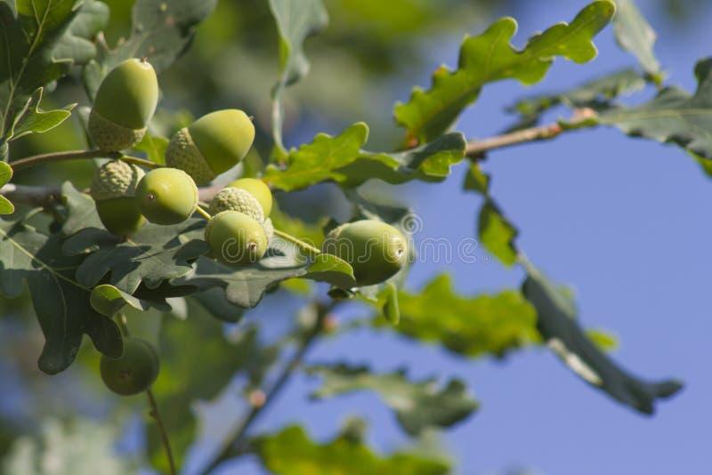 Der Eichenbaum lizenzfreies stockbild