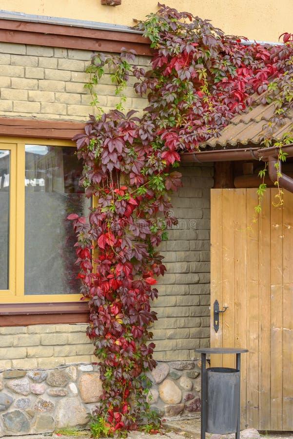 Der Eingang zum Haus wird mit roten dekorativen Trauben des Herbstes umfasst stockbild