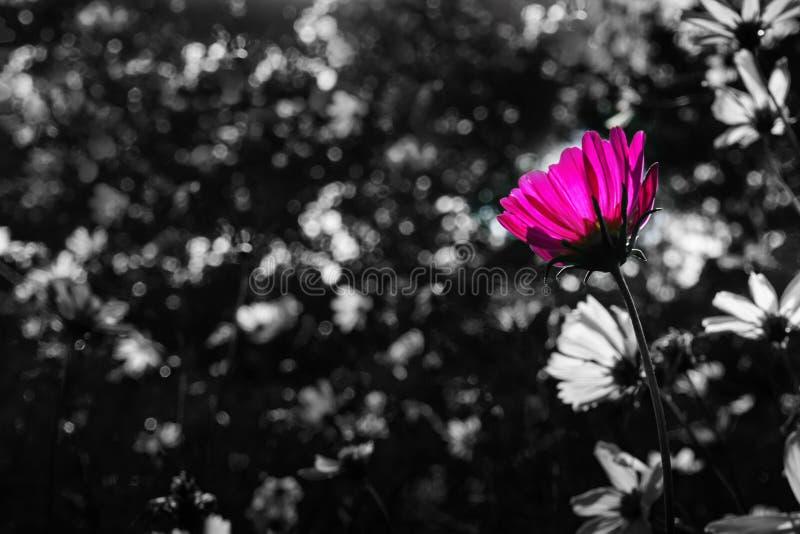 Der einzelne rosa Kosmos, der heraus vom Unschärfeschwarzweiss-Hintergrund steht stockfoto