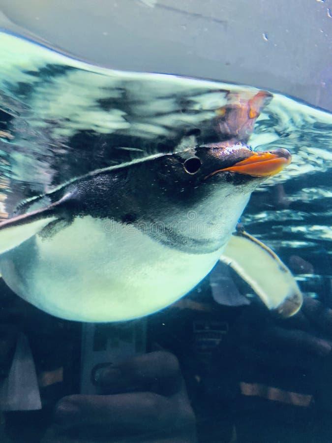 Der einzigartige und neugierige Pinguin lizenzfreie stockfotos
