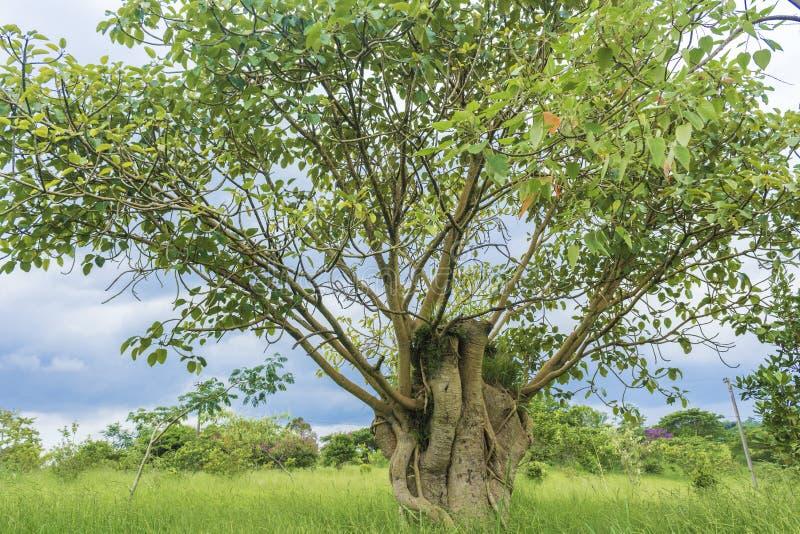 Der einzige Baum auf dem Gebiet stockfoto