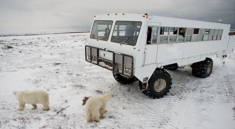 Der Eisbär kam sehr nah zu einem speziellen Auto für die arktische Safari kanada Nationalpark Churchill stockbilder