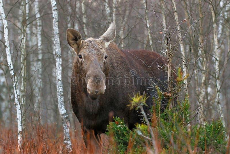 Der Elchelch, Alces Alces, ist die größten extant Spezies in der Rotwildfamilie, Nationalpark Biebrzanski, Polen lizenzfreies stockfoto