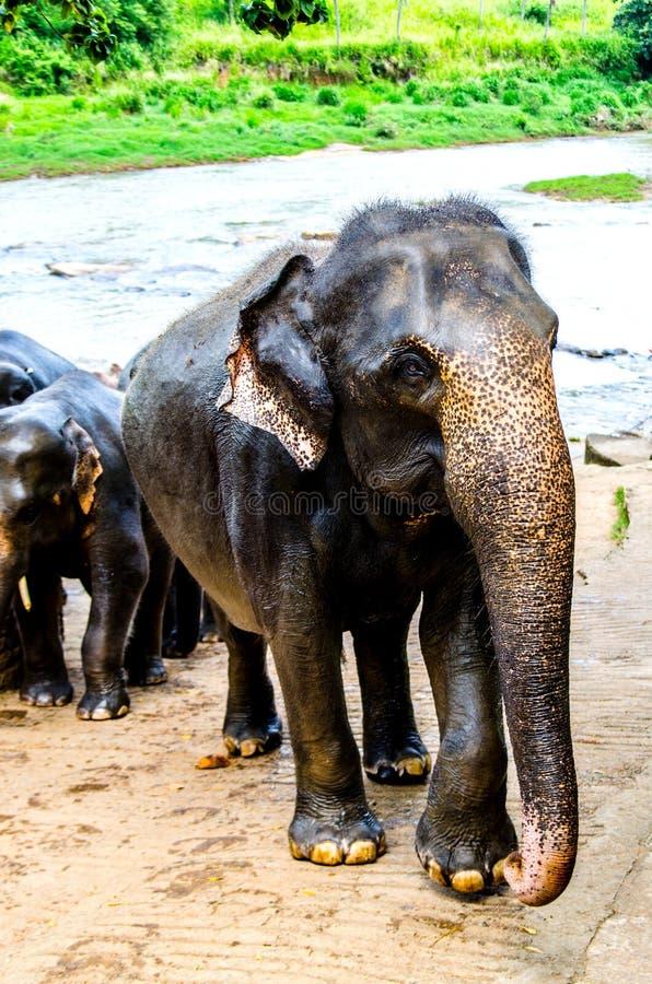 Der Elefant, der mit der Herdenstellung mit einem Bad in der Kindertagesstätte von Sri Lanka geht, untersucht die Kamera stockfotografie