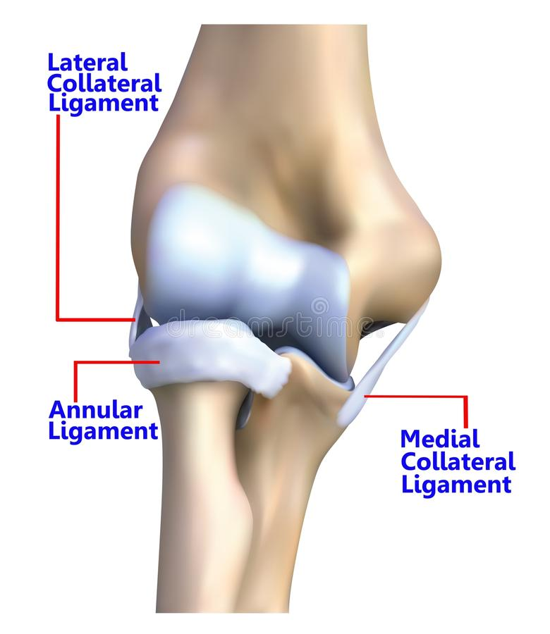 Der Ellbogenknochen und -ligamente lizenzfreie abbildung