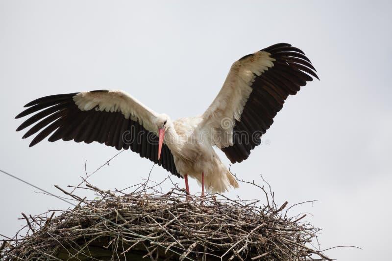 Der erwachsene weiße Storch in einem Nest hat Flügel angehoben lizenzfreie stockfotografie