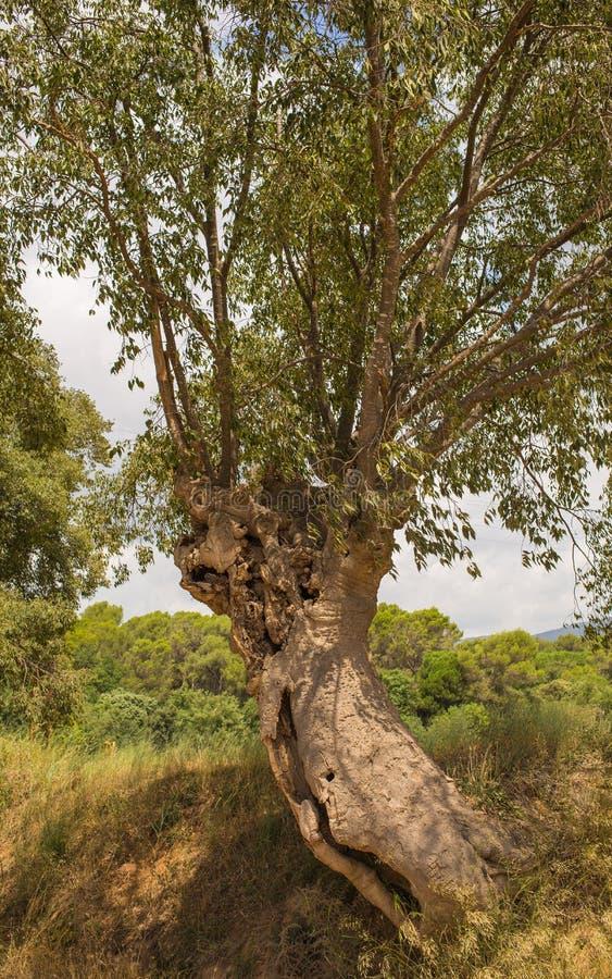 Der europäische Nessel-Baum stockfotografie