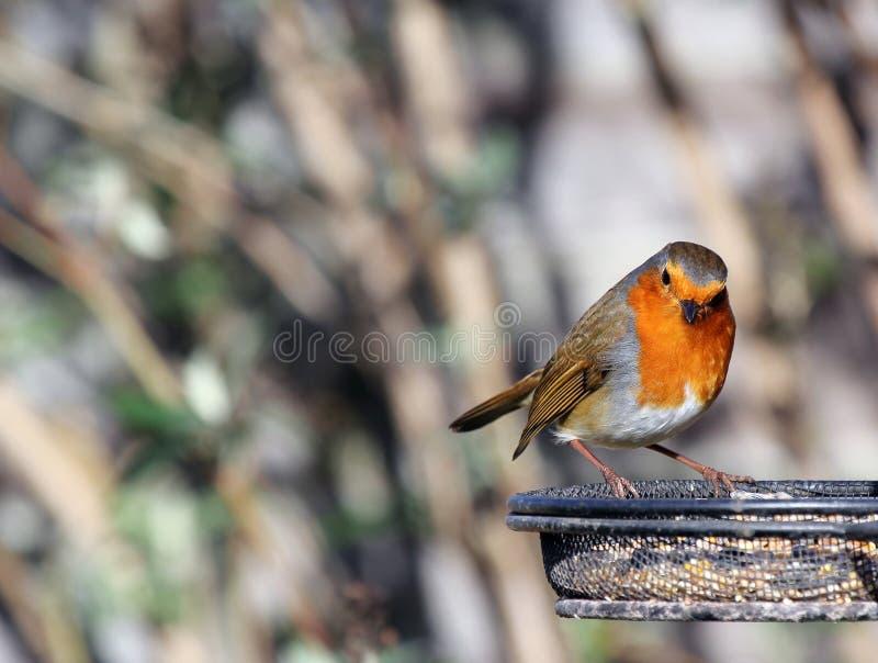 Der europäische Robin (Erithacus rubecula), stockfotografie