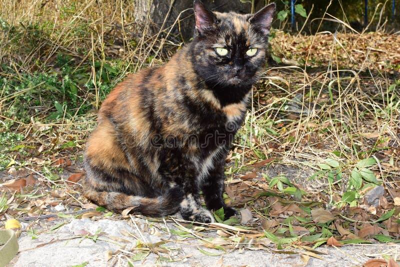 Der Fall auf einen Besuch bei uns kam, eine Katze Farbfall, ist eine rote Katze, die sich dem Fall gegenüber maskiert, gelbe Auge lizenzfreies stockbild