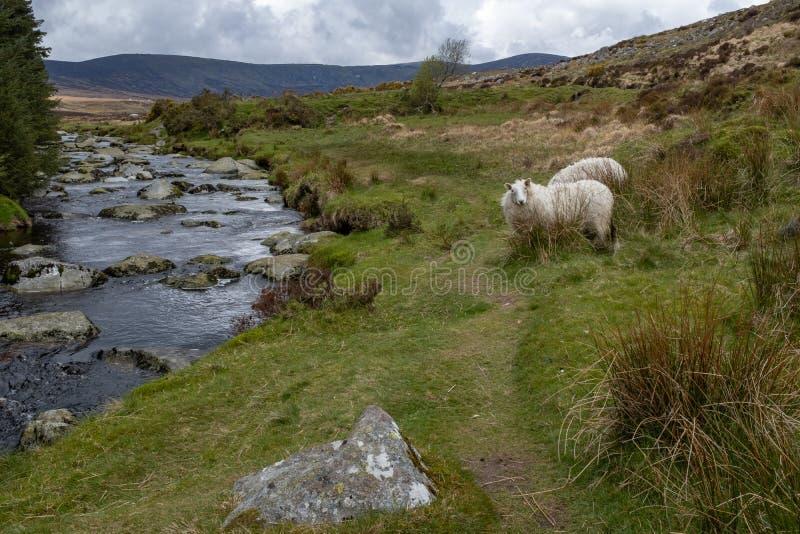 Der Fluss Iffey, welches das Wicklow Gap in der Grafschaft Wicklow, Irland, Schaf anstarrt entlang der Kamera durchfließt stockfotografie