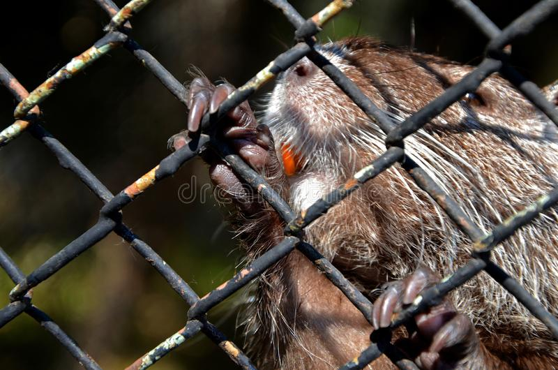 Der Flussbiber mit den orange Zähnen wurde durch die Tatzen hinter Käfig gefangen Erhaltung von Tieren im Zoo in Bulgarien stockbild
