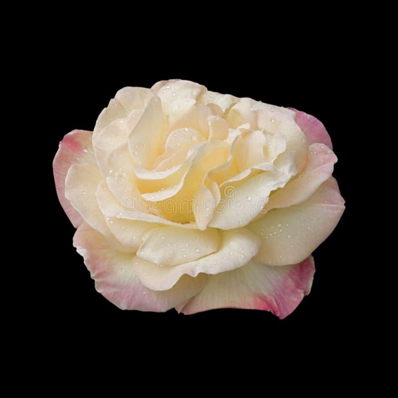Der Frieden Rose lizenzfreies stockfoto