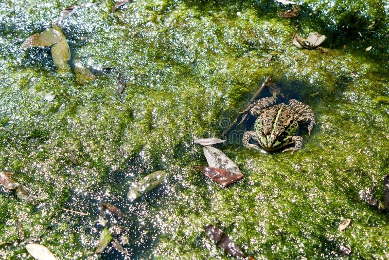 Der Frosch liegt in einem Sumpf. lizenzfreies stockbild