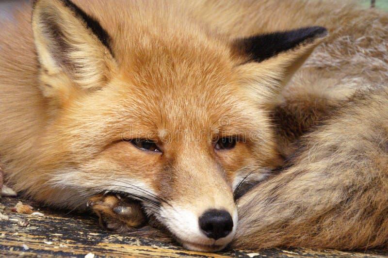 Der Fuchs lizenzfreies stockbild