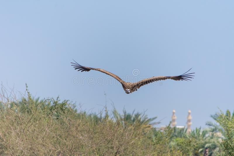 Der Gänsegeier Gyps fulvus Fliegen über grünen Bäumen ansteigt mit seiner enormen Spannweite auf einem blauen Himmel stockbilder