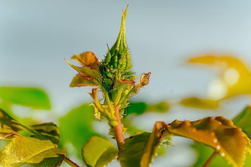 Der Gebrauch von Schädlingsbekämpfungsmitteln gegen Plagen und Krankheiten auf Rosen lizenzfreies stockfoto