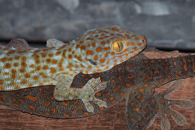 der Gecko auf Dach stockbilder