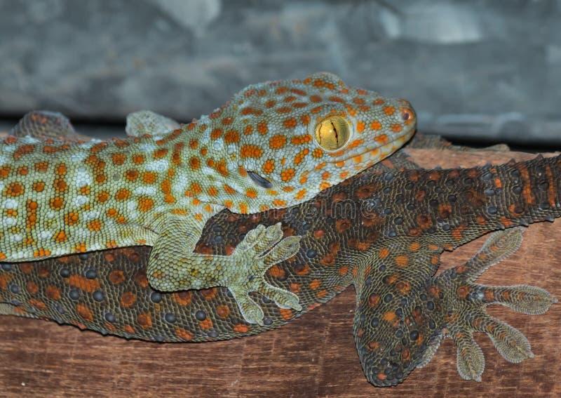 der Gecko auf Dach stockbild