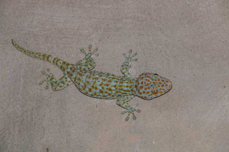 der Gecko auf Wand lizenzfreies stockbild