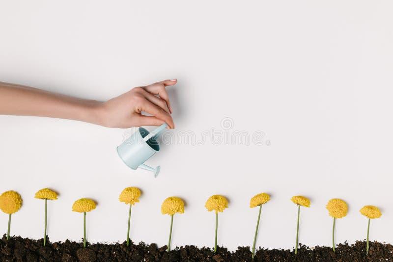 der geerntete Schuss der Frau gelbe Chrysantheme wässernd blüht im Boden, der auf Weiß lokalisiert wird stockbild