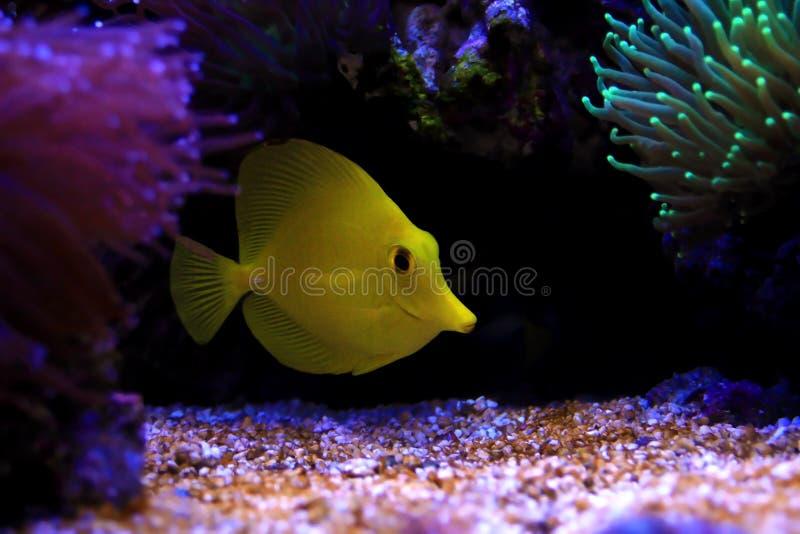 Der gelbe hawaiische Geruch - Zebrasoma-flavescens lizenzfreie stockfotos