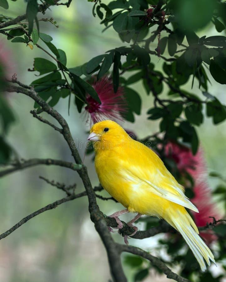 Der gelbe Kanarienvogel, (Serinus Canaria-domestica stockfotos