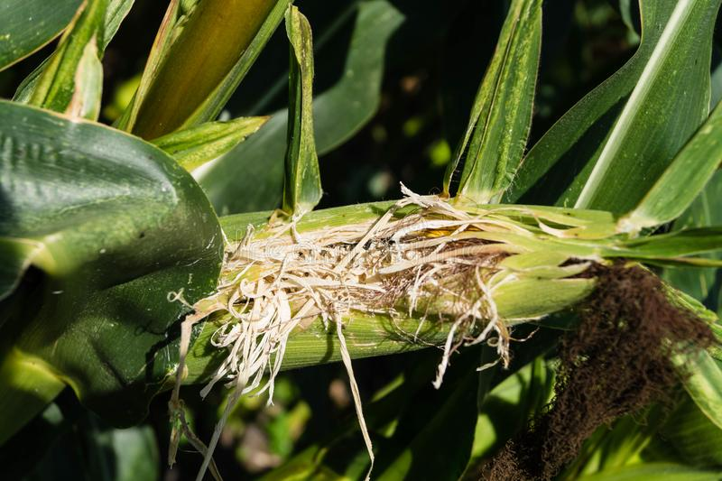 Der gelbe Mais lizenzfreie stockfotos