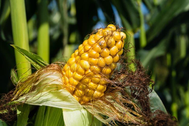 Der gelbe Mais lizenzfreie stockbilder