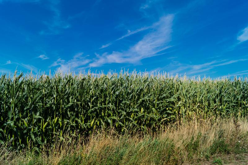 Der gelbe Mais stockfoto