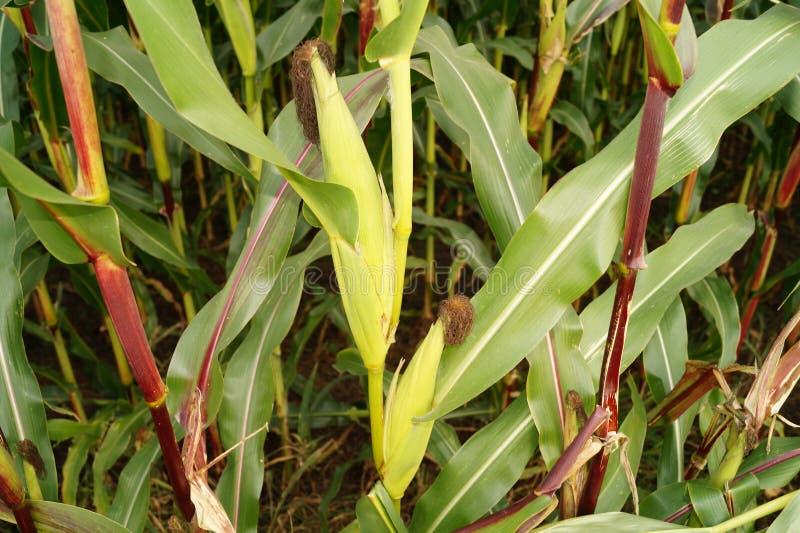 Der gelbe Mais stockbild