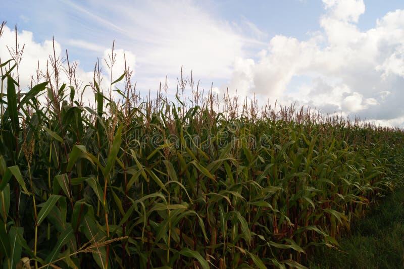 Der gelbe Mais lizenzfreies stockbild