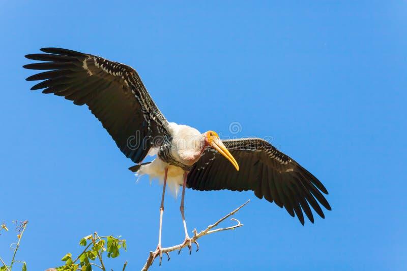 Der gemalte Storchvogel breitete ihre Flügel aus lizenzfreie stockfotografie