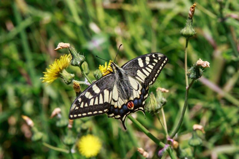 Der gemeine gelbe swallowtail Schmetterling stockfotos