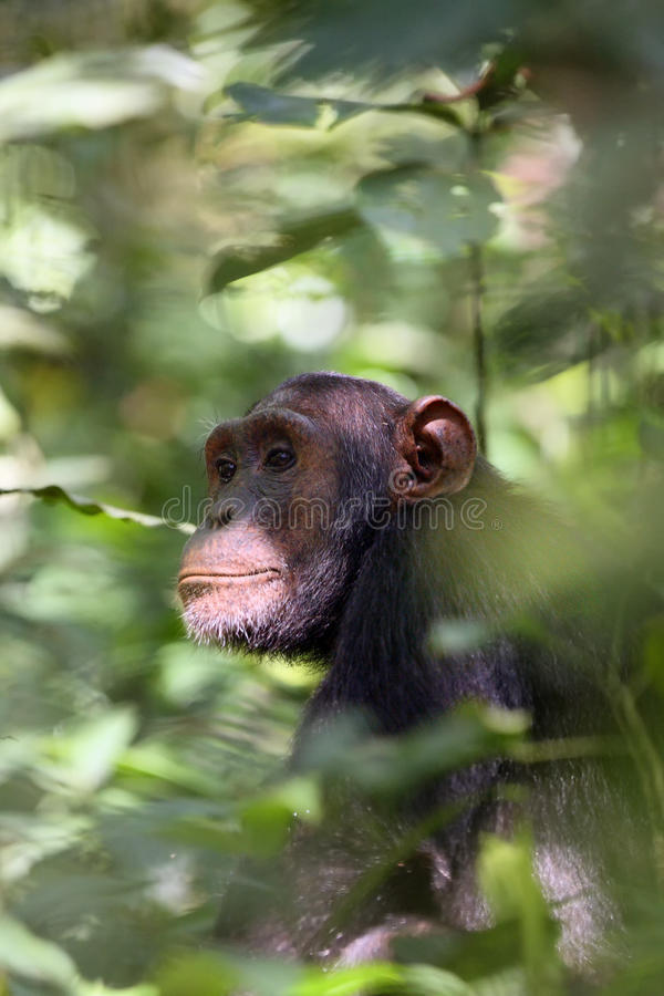 Download Der Gemeine Schimpanse, Der Auf Dem Wald Sitzt Stockbild - Bild von schwarzes, wald: 96931499