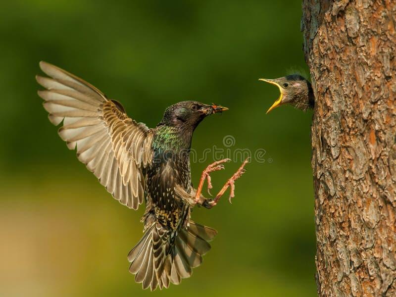 Der gemeine Star, der gemeine Sturnus fliegt mit irgendeinem Insekt, um sein Küken einzuziehen stockfoto