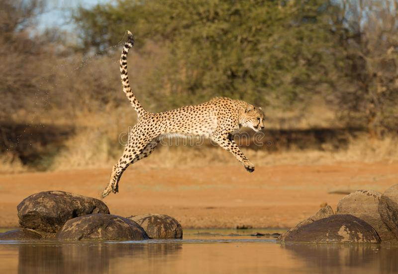 Der Gepard springend zwischen zwei Felsen, Acinonyx jubatus, Süd-Afr lizenzfreie stockfotografie