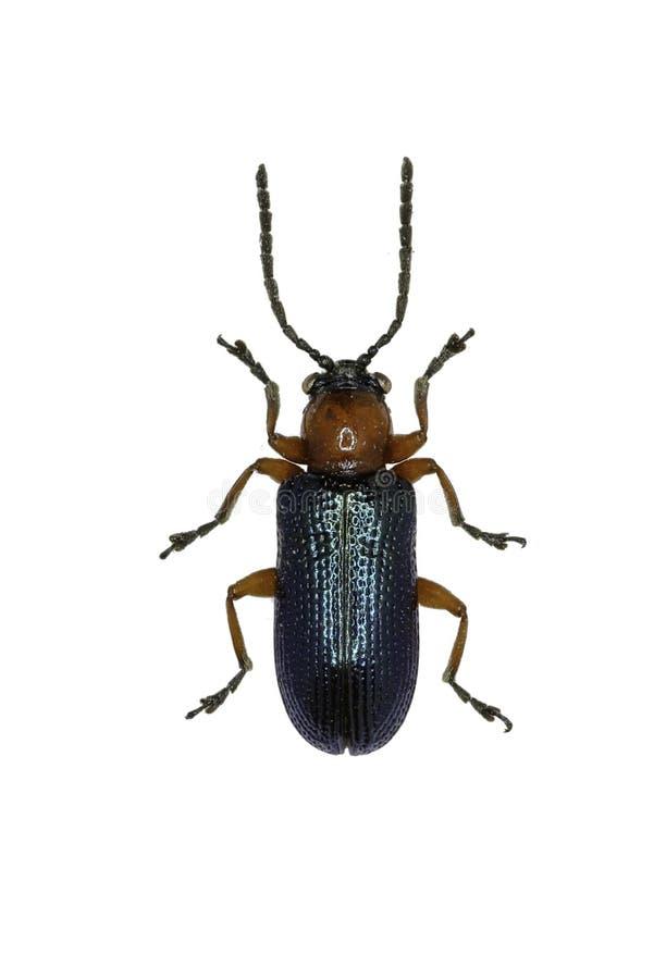 Der Getreide-Blatt-Käfer Auf Weißem Hintergrund Stockfoto - Bild von ...