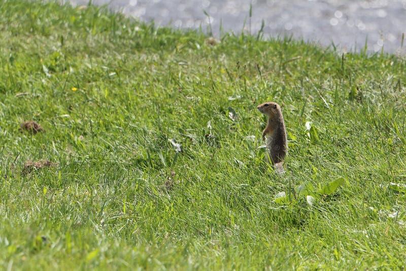 Der Gopher, der am Riverbank im Gras steht lizenzfreies stockbild