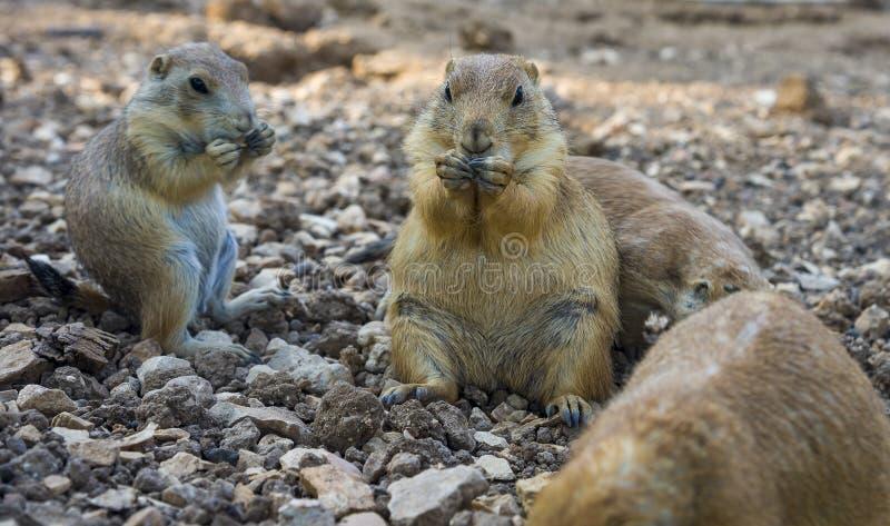 Der Gopher, der oben sitzt und Gopher isst, faltete Tatzen stockfoto