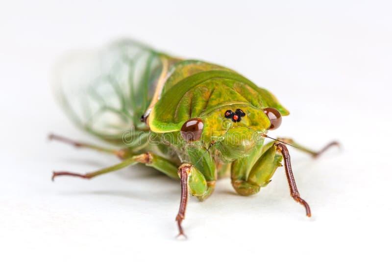 Der grüne Lebensmittelhändler Cicada lokalisiert auf Weiß lizenzfreies stockfoto